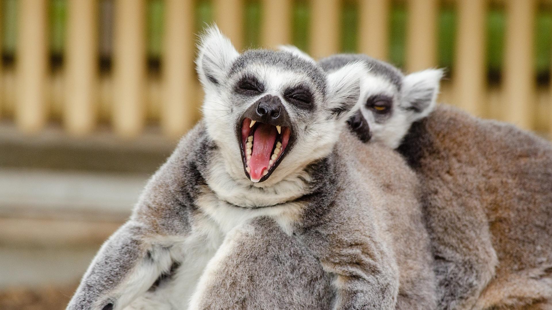 Lemurs.png